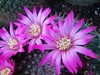 flor de cacto (jakza - Jaque Zattera) Tags: corderosa cacto cactus