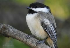 Chickadee (NaturewithMar) Tags: smileonsaturday featheredfriends chickadee bird macro tree summer 2017 wisconsin nikoncoolpix b700