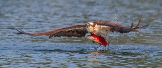 Osprey just leaving the water with Salmon
