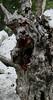 Kroatien (sylvia-münchen) Tags: kroatien südeuropa europe croatia croacja kroacja europa südosteuropa mittelmeer mittelmeerküste cres zauberwald stamm steineiche