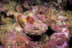 peixe-pedra - reef stonefish (Synanceia verrucosa) (Eden Fontes) Tags: peixepedra 160 fotosub fantasealiveaboard 35mmkitcloseup scubadiving slideasa100100 nikkor35mm myanmar fujifilmra660asa100 closeupphoto f1622 sealife threeislands profundidademáxima253m tailândiaemyanmar10051999 mergulho andamansea slidedigitalizado reefstonefish tempo47min merguiarchipelago ttl liveaboard 08m nikonnikonosv synanceiaverrucosa strobeikelite225 visibilidade25m