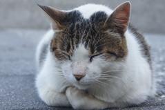 Sleeping cat (Alexander K L Chan) Tags: cat animal pet sony a55 wild