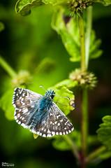 115_Papillons_9447 (darry@darryphotos.com) Tags: melle entomologie macro papillon lhespériedespotentilles