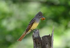 Great-crested Flycatcher (av8s) Tags: greatcrestedflycatcher flycatcher birds perchingbirds nature wildlife photography nikon d7100 sigma 120400mm pennsylvania pa