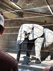 (Scorpiol13) Tags: floppyears trunk gray courseskin wrinkles texture majestic mammal animal gentle captivity zoo elephant