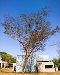 Survivor (VVMesquita) Tags: cerrado plants flower wonderful nature lumia lumia1020 1020 nokia1020 goiás brasil brazil dryseason dry winter season ufg tree drytree