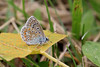 IMG_9584 Argus bleu mâle (Michel Grégoire) Tags: argusbleu
