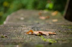 The fallen Leaf. (andreasheinrich) Tags: nature leaf bench autumn september afternoon overcast germany badenwürttemberg neckarsulm dahenfeld deutschland natur blatt bank herbst nachmittag bewölkt nikond7000