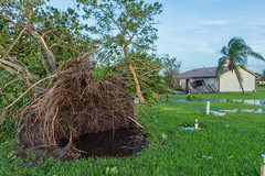 """Uprooted "" (So Fluid) Tags: hurricane hurricaneirma irma damage destruction water tree rain wind storm florida southflorida landscape landscapephotography sofluid color canon nature weather morning"