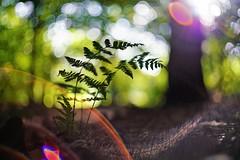 It's autumn ! (look to see) Tags: varens fern herfst fall bokeh flare iscogöttingenberolinawestromat50mmf19vintagelens kleur color 2017 spa autumn