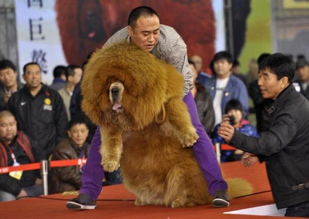 Thảm cảnh của chó ngao Tây Tạng - Ảnh 3.