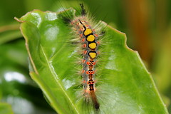 What a beauty! 060717 IMG_0038 (clavius2) Tags: beauty vapourer moth caterpillar orgyia antiqua grey red spots patterned colourful brislty hairy bright yellow tufts back north east england uk insect macro