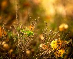 Heidehüpfer (heike_hechelmann) Tags: grashüpfer heide lüneburger revuenon 1255 mc bokeholic vintagelens herbst bokeh nature naturephotographer macro insect insekt sonya7ii sony