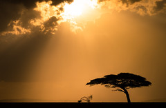 Nature threw a right Hand cross .. (Beppe Rijs) Tags: africa afrika landschaft panorama serengeti sonne sunlight tansania tanzania clouds landscape light sunrays view baum tree sonnenuntergang sundown himmel sky nationalpark np park steppe fineart orange silhouette mood stimmung wolken wolkendecke akazie acacia solitude