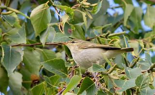 JWL6835  Arctic Warbler..