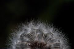 Passion (tom176273_) Tags: dandelion white macro black colors