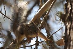 Jumping Squirrel (lenswrangler) Tags: lenswrangler digikam lair lairofthebear pinecrest cal animal tree squirrel