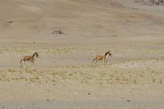 IMG_0355 (y.awanohara) Tags: tibet wildlife scenery ngari may2017 donkeys khyang tibetanwilddonkeys