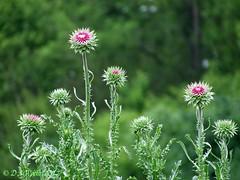 Nodding Thistle (Picsnapper1212) Tags: noddingthistle thistle wildflower plant nature nonnative introduced hiseypark warrencounty ohio