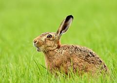 Hare (George Findlay) Tags: hare ayrshire nikon sigma