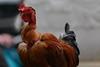 (Chetiya Sahabandu) Tags: cock fowl bird birdfight maligawa pattini