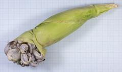 Ustilago maydis - Zea mays (31) (Elisnoe Desjardin) Tags: ustilago maydis zea mays basidiomycota ustilaginales corn smut huitlacoche maisbeulenbrand charbon maïs kukorica golyvásüszög plant disease pathogen rotten fungus fungal gall spore teliospore leaf stem corncob mais maíz maisbrand parasite cuitlacoche parasitischer brandpilz champignon pathogène food patógeno patogén krankheitserreger pflanz planta plante növény krankheit mal maladie betegség