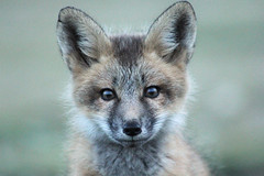 Curious fox kit (listening_to_land) Tags: foxes redfoxes wildcanines