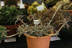 Aloe cremnophila