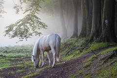 De Posbank (gentlesinger) Tags: posbank sunrise horse horses zonsopkomst veluwe natuur paarden gelderland fog morningfog foggy nature dutchnature sprookje fairytail schimel unichorn eenhoorn ridder mist schimmel