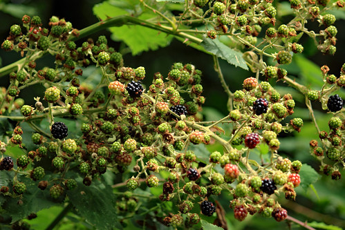 "Brombeeren (01) • <a style=""font-size:0.8em;"" href=""http://www.flickr.com/photos/69570948@N04/35860132883/"" target=""_blank"">View on Flickr</a>"