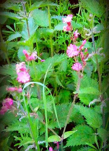 English wildflowers