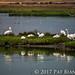 Pelicans of Palo Alto-7341