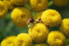 Jagged Ambush Bug on Tansy (monikahschuschu) Tags: bug ambushbug jaggedambushbug insect truebug tansy plant wildflower nature outdoors wildlife