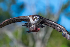 Osprey With Partially Eaten Fish (Vic Zigmont) Tags: osprey birds circlebreserve florida