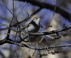 Bewick's Wren (Thryomanes bewickii) _DSC0745edit (Dave Krueper) Tags: aves bewr bird birds corralesbosque landbird newmexico passeriformes passerine troglodytidae wren