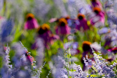 dancing with the wind ... (mariola aga) Tags: chicagobotanicgarden glenco garden meadow flowers bokeh dof pastel colors artofimages thegalaxy