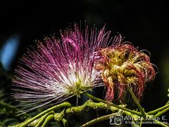 Flor de la Acacia de Constantinopla o Árbol de la seda (Esmerejon) Tags: flordelaacaciadeconstantinoplaoárboldelasedaconalgunascuriosidadesdeesteárbolalbiziajulibrissin enespañolárboldelasedaoacaciadeconstantinopla aunquenoesunaverdaderaacacia sinounaespeciedeungéneropróximoalbiziapertenecientealamismasubfamiliamimosoideae dentrodelafamiliafabaceaedistribuciónesoriginariadelsuresteyestedeasia desdeelestedeiránhastachinaycoreaamediadosdelsigloxviii seintrodujoeneuropadondeestáampliamentecultivadacomoárbolornamental tantoenambienteurbanocomoenzonasajardinadasenlanaturaleza elárboltiendeacrecerenllanurassecas enlosvallesdearena ylastierrasaltasseencuentraextensamenteporlageografíaespañoladesdegeronahastacádizcrecenejemplaresdealbiziajulibrissinsehaconvertidoenunaespecieinvasoraenjapónyenlosestadosunidosenesteúltimomuyextendidodesdeels nuevajersey yaloestedeconnecticutamisurieillinoisyalsurdelafloridaytexastambiénsecultivaencaliforniayoregón peroallínosoninvasivasusoslacortezaseusaparacurarheridasycomoantihelmínticalassemillasseusancomoalimentoparaelganadoylafaunasilvestre ylasflores dulcementeperfumadas sonunafuentedenéctarparalasabejaslosextractosendosisaltasdeajulibrissinsehaencontradoqueposeenefectosantidepresivosenratones muyprobablementemediadosporelreceptor5ht1aenlamedicinatradicionalchinaalbizziajulibrissin合欢花hehuanhuaseutilizaparaalimentarelcorazónycalmarelespíritufuentewikipedia flores floresmedicinales plantasmedicinales naturaleza