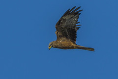 Black kite, Milvus migrans (Bojan Žavcer) Tags: blackkite milvusmigrans bird animal wildlife nature blue green orange red eye fauna colorful depthoffield wing abstract color outdoor park water white wild avian beautiful birding space long amazing blur broun exotic fascinant fast flight freedom enviromant perching stick sunlight tailed head lovely canoneos7dmarkii ef600mmf4lisusm