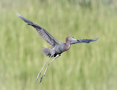 Little Blue Heron (tresed47) Tags: 2017 201708aug 20170810newjerseybirds august birds canon7d content folder heron littleblueheron newjersey oceancity peterscamera petersphotos places season summer takenby us