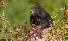(EXPLORE) Vancouver Island Marmot (Marmota vancouverensis) - Courtenay, BC (bcbirdergirl) Tags: explored explore canadasmostendangeredmammal vancouverislandmarmot bc marmotavancouverensis courtenay vimarmot endangered cute rodent eartag washington mountwashington conservation