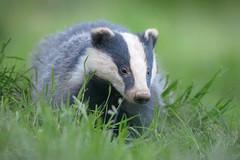 European Badger (Meles meles) (benstaceyphotography) Tags: melesmeles badger wildlife mustelid mammal uk scotland british grass nikon 500mmf4vr d800e