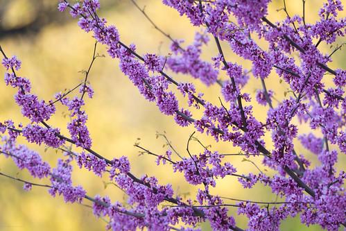 UofT Spring Flowers
