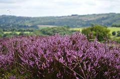 Bonnie heather (Blue Sky Pix) Tags: purple ling heather stanton moor derbyshire peak district national park england colourful moorland pentax