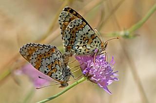 Melitaea cinxia - the Glanville Fritillary
