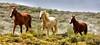 THUNDER HOOVES (Aspenbreeze) Tags: wildhorses horses mustangs broncos wildlife coloradowildlife sandwashbasingwildhorserange nature nooves manes equine colt mare wildcolt wildmare bevzuerlein aspenbreeze moonandbackphotography