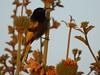 Drepanorhynchus reichenowi ♂ (Luis G. Restrepo) Tags: p2520763 p2520754 suimangaalidorado goldenwingedsunbird drepanorhynchusreichenowi ave bird ngorongoro cráter crater tanzania africa nectariniidae nectarina passeriformes safari roysafaris
