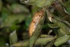 Leptotes pirithous (Linnaeus, 1767). Crisálida (Jesús Tizón Taracido) Tags: lepidoptera papilionoidea lycaenidae polyommatinae polyommatini leptotespirithous