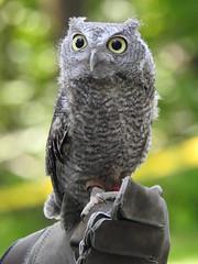 Juvenile Eastern Screech-Owl (The Strigiform) Tags: eastern screech owl owls raptor birds falconry