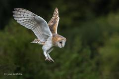 Barn Owl about to land 750_0349.jpg (Mobile Lynn) Tags: owls barnowl birds nature bird fauna strigiformes tytoalba wildlife nocturnal otterbourne england unitedkingdom gb coth specanimal ngc coth5 sunrays5 npc