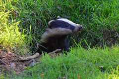 Badger emerging (Terry Angus) Tags: badger emerging set